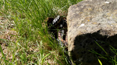 Male and Female Adders Stock Footage