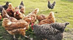 Feeding hens in domestic breeding Stock Footage