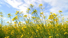 Rapeseed Flowers Blossoms Stock Footage