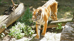 Siberian Tiger Stock Footage