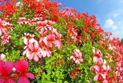 white and coloured red geraniums - stock photo