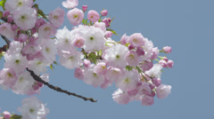 SLOW MOTION: Beautiful cherry tree in spring Stock Footage