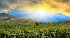 sunrise over a grape field - stock illustration