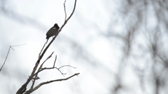 Red winged blackbird call Stock Footage