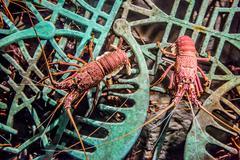 Alive lobster in an aquarium Stock Photos