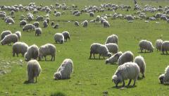 Herding Sheep in Mountains, Flock of Lambs Grazing Hill, Pastoral Grassland Stock Footage