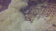 A scuba diver waves hands to move cauli flower plants near reef Stock Footage