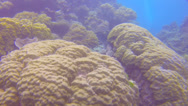 Stock Video Footage of 2 scuba divers swim through coral to find a sea cucumber