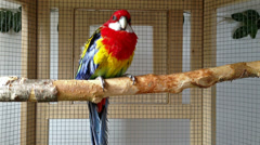 Rosella parrot in a cage Stock Footage