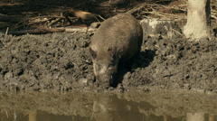 European wild boar (sus scrofa) at mud pool, drinking and foraging Stock Footage