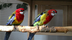 Rosella parrots in a cage Stock Footage