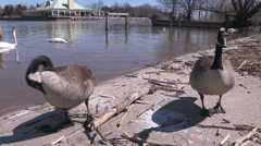 Goose fight, all out brawl with angry Canada geese in mating season - stock footage