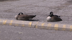 Geese sleeping in the afternoon sun Stock Footage