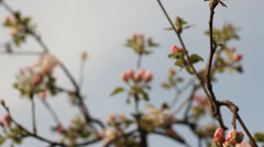 Apple tree buds in spring. Camera movement Stock Footage