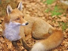 Fox while resting lying in the middle of the leaves 3 Stock Photos