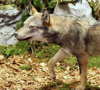 Kyltymätön susi etsii saalista keskellä metsää 3 Kuvituskuvat