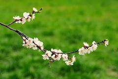 Apricot tree flower - stock photo