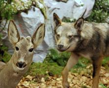 Hirvieläimet hengenvaarassa kanssa susi Kuvituskuvat