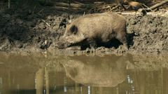 European wild boar (sus scrofa) foraging at mud pool - side view Stock Footage
