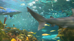 Colorful schools of tropical fish with sharks cruising through - stock footage