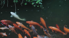 Orange fish swimming in the pond Stock Footage
