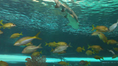 Sharks swim through a school of Yellowtailed snapper. Stock Footage