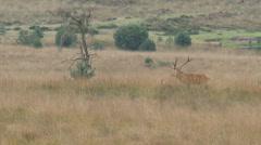 European Red Deer (Cervus elaphus) bull in high grass, Veluwe - Rutting season Stock Footage