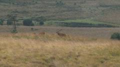 European Red Deer (Cervus elaphus) bull with harem chasing juvenile stag Stock Footage