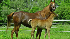 Arabian horse mare and foal Stock Footage