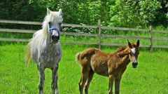 Arabian horse mare and foal standing and galloping Stock Footage