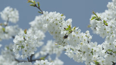 SLOW MOTION: Bumblebee on a blooming tree Stock Footage