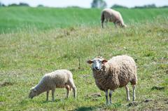 Sheeps on the pasture Stock Photos