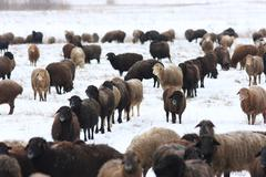 Grazing sheep (Ovis aries) in the winter Stock Photos