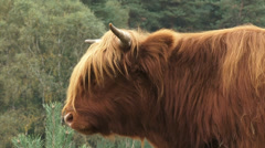 Red Highland bull in Veluwe National Park - close up head - side vew Stock Footage