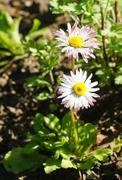marguerite flower - stock photo