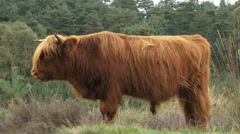 Red Highland bull in Veluwe National Park - side view Stock Footage