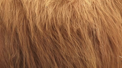 Red Highland cattle thick shaggy hair - full screen Stock Footage