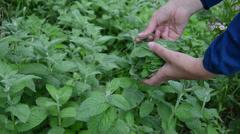 Gardener girl hand pick mint herb plant leaves in rural garden Stock Footage