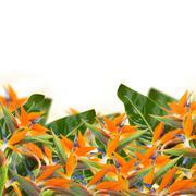 Strelitzia flowers border - stock photo