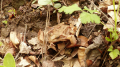 the grass frog on land conveniently hidden in fallen leaves - stock footage