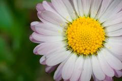 macro photography of daisy (leucanthemum vulgare)with natural background - stock photo