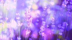 Growing Lavender Stock Footage