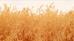 Oat Ears Field. Harvest concept Stock Footage