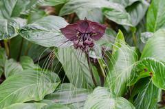 Black bat flower or tacca chantrieri grow wild in the tropical forest, thaila Stock Photos