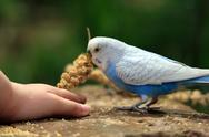 Stock Photo of Budgerigar