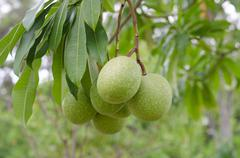 Cerbera oddloam fruit on the tree Stock Photos