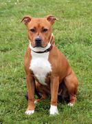 The portrait of American Staffordshire Terrier - stock photo