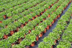 Lobelia or lobelia Campanulaceae. - stock photo