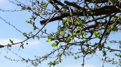 Tree Growning New Leaves, Spring is Here Stock Footage