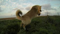 Stock Video Footage of dog jumping in the grass